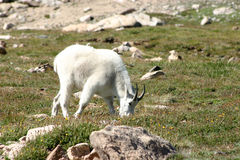 Male Ram Mountain Goat Feeding In A Grassy Meadow On Top Of A Mo Stock Photos
