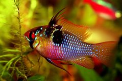 Male Ram's. Identification picture for the Mikrogeophagus ramirezi, the Ram cichlid (Male Stock Photos