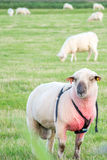 Male ram wearing mating harness with other sheep. Countryside farming scene of male ram in field with sheep harem wearing marking chalk harness at mating time Royalty Free Stock Images