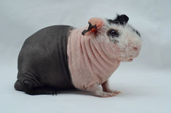 Male rare skinnypig Stock Image