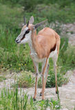 Male red antelope. In natural environment Stock Photos