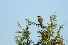 Male Red-Backed Shrike. On a juniper Stock Images