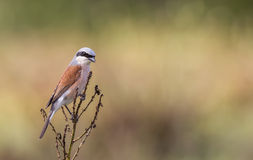 Male Red-backed Shrike. A female red-backed shrike (Lanius collurio)  is perching on a shrubbery Stock Image