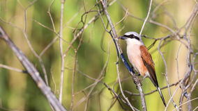 Male Red-backed Shrike Royalty Free Stock Photo