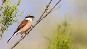 Male Red-backed Shrike Royalty Free Stock Photos