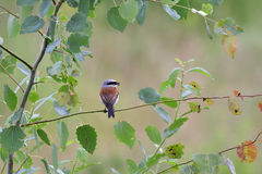 Male Red-backed shrike Stock Photography