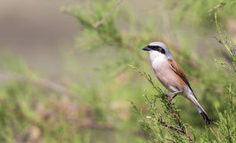 Male Red-backed Shrike on Shrubbery Royalty Free Stock Photos