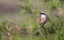 Male Red-backed Shrike on Shrubbery Royalty Free Stock Photography