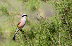 Male Red-backed Shrike on Shrubbery Stock Photo