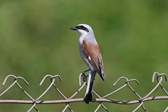 A male of red backed shrike  sits on a metal fence. On a blurred green background Royalty Free Stock Photography