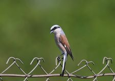 A male of red backed shrike  sits on a metal fence. On a blurred green background Royalty Free Stock Image