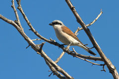 Male Red-backed Shrike sitting on a dead branch on a summer Royalty Free Stock Images