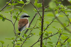 Male Red-backed shrike Stock Photos