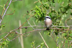 Male Red-backed shrike Royalty Free Stock Images