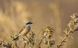 Male Red-backed Shrike on a Thistle. A male red-backed shrike  is looking around perching on a thistle Royalty Free Stock Photo