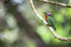 A Male Red-bearded Bee-eater in the wild Stock Images