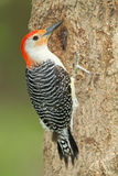 Male Red-bellied Woodpecker Stock Image