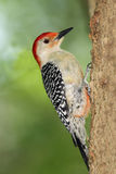 Male Red-bellied Woodpecker Royalty Free Stock Images