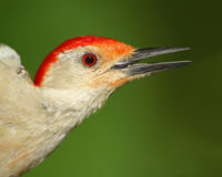 Male Red bellied Woodpecker - Closeup Stock Photos