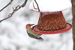Male Red-bellied Woodpecker on feeder Stock Photos