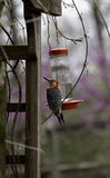 Male Red Bellied Woodpecker Stock Photos