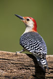 Male Red-Bellied Woodpecker (Malenerpes carolinus) Stock Image