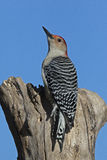 Male Red bellied Woodpecker (Melanerpes carolinus) Royalty Free Stock Images