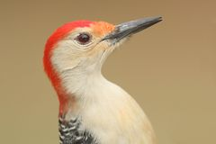 Male Red-bellied Woodpecker (Melanerpes carolinus) Stock Photos