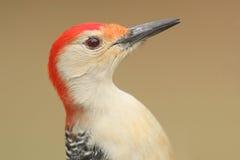 Male Red-bellied Woodpecker (Melanerpes carolinus) Stock Photos
