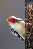 Male Red-bellied Woodpecker (Melanerpes carolinus) Royalty Free Stock Photos