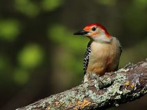Male red-bellied woodpecker Stock Images