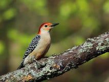 Male red-bellied woodpecker Stock Image