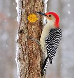 Male Red- bellied Woodpecker At Suet Stock Photos