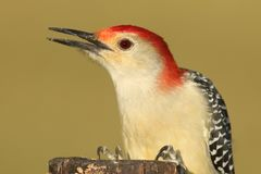 Male Red-bellied Woodpecker (Melanerpes carolinus) Royalty Free Stock Image