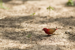 A male Red-billed Fire Finch. Checks the ground for any eatable seeds or just plain sand which will be swallowed to aid in it´s digestion Stock Image