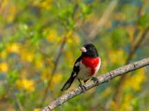 Male red-breasted grosbeak perched with yellow flowers. A male rose breasted grosbeak song bird perched on a branch with yellow and green background Stock Photos