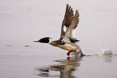 Male Red Breasted Merganser Royalty Free Stock Images