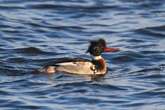 Male Red-breasted Merganser Stock Image