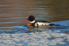 Male Red-breasted Merganser (Mergus serrator ) on a partially fr Stock Photo