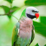 Male Red-breasted Parakeet Royalty Free Stock Photos