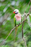 Male Red-breasted Parakeet Royalty Free Stock Image