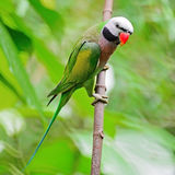 Male Red-breasted Parakeet Stock Image