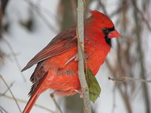 Male red cardinal on branch in winter. Male red cardinal on branch facing right Royalty Free Stock Images