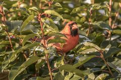 Snow eating cardinal in green bush. Male red cardinal snow green bush bird birds royalty free stock photo