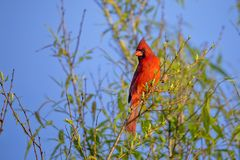 Red Male Cardinal On A Tree. A male Red Cardinal up in a tree Royalty Free Stock Image