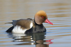 Male Red Crested Pochard Stock Photo