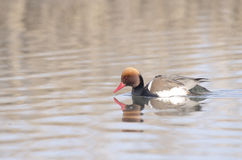 Male Red Crested Pochard. (netta rufina Stock Photos