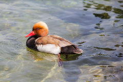 Male Red-crested pochard. Close up of view of a male Red-crested pochard swiming in clear water Royalty Free Stock Photo
