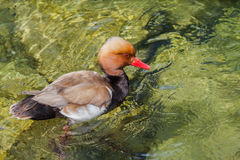 Male Red-crested pochard. Close up of view of a male Red-crested pochard swiming in clear water Stock Photos