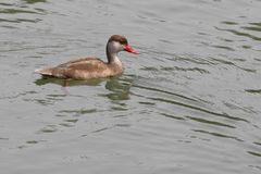 Male Red Crested Pochard Stock Image